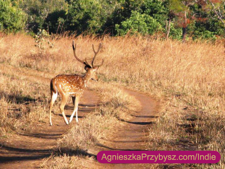 Kanha-National-Park_Indie
