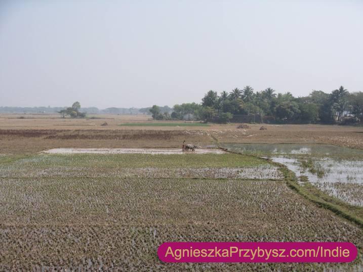 Orissa-Indie-uprawa-ryzu